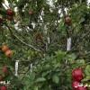 تصاویر ۲۵۰ گونه از سیب بر روی یک درخت