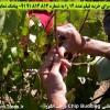 تصاویر آموزش پیوند زدن | کو پیوند قاشی Chip Budding درخت انگور