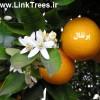 پیوند پرتقال به نارنج چه فصلی باید انجام بشود