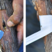 Grafting Grape Vines
