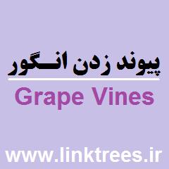 روش های پیوند زدن انگور قلمه زدن انگور Grape Vines | فروش فیلم پیوند زدن درخت انگور مو Grafting Grape Vines | سایت آموزش پیوند درختان www.LinkTrees.ir