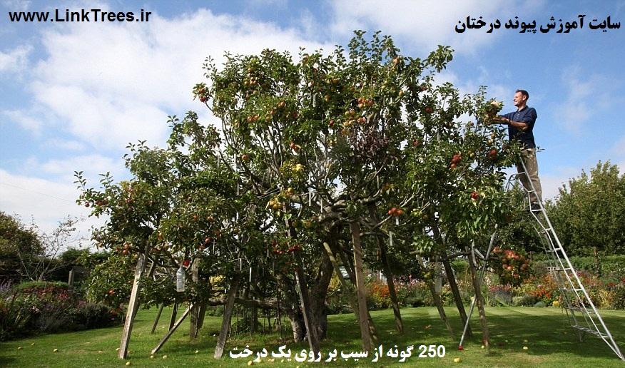 یک تصاویر 250 گونه از سیب بر روی یک درخت | اخبار پیوند درختان ایران و جهان پیوند نیوز | سایت آموزش پیوند درختان | www.LinkTrees.ir
