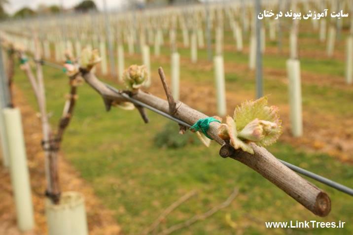 فصل پیوند انگور | در چه فصلی میتوان پیوند را انجام داد | سایت آموزش پیوند درختان | www.LinkTrees.ir | پیوند انگور