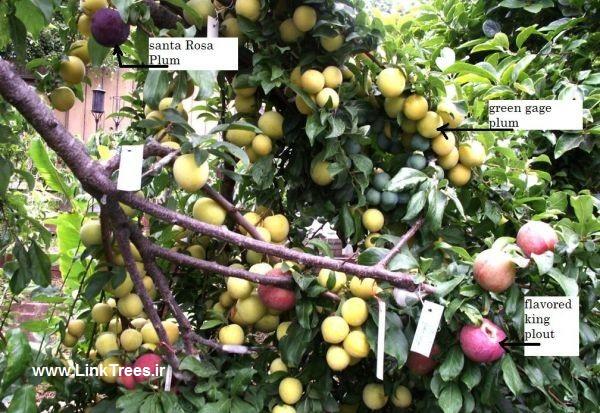 تولید درختی بدون نیاز به آب در شهرستان خاتم | اخبار پیوند درختان ایران و جهان پیوند نیوز | سایت آموزش پیوند درختان | www.LinkTrees.ir | grafting plum tree
