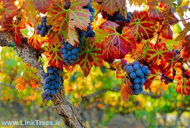 الهه انگور ایران | اخبار پیوند درختان ایران و جهان پیوند نیوز | سایت آموزش پیوند درختان | www.LinkTrees.ir | grapes Elahe Iran