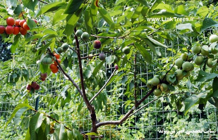 یک درخت با 40 میوه در آمریکا 40 fruit trees in America | اخبار پیوند درختان ایران و جهان پیوند نیوز | سایت آموزش پیوند درختان | www.LinkTrees.ir