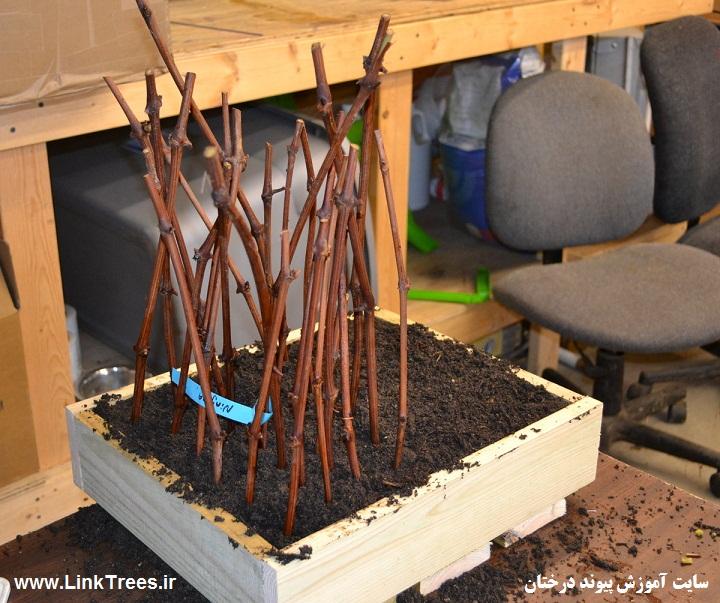 زمان کاشت قلمه انگور | درخت انگور | سایت آموزش پیوند درختان | www.LinkTrees.ir | planting time grapes cuttings