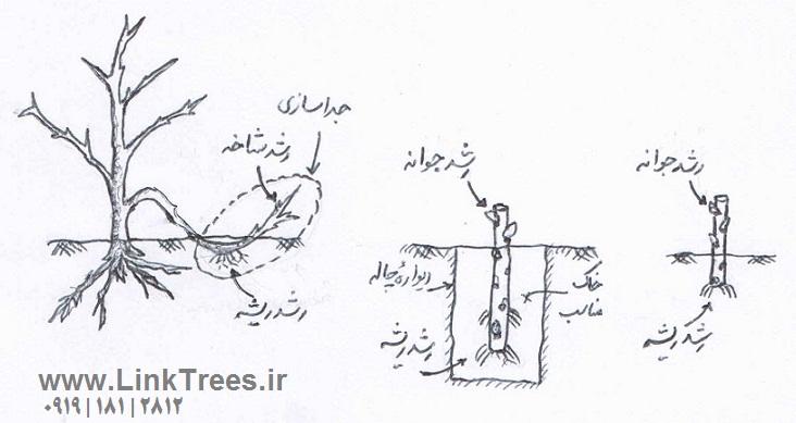 شیوه های تکثیر درختان پیوندی | سایت آموزش پیوند درختان | www.LinkTrees.ir | Ways of growing trees link