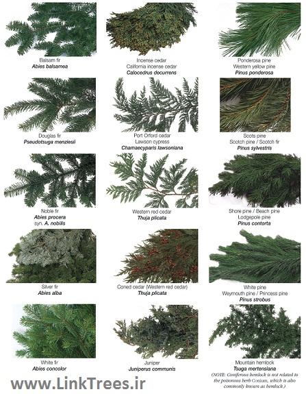 سایت آموزش پیوند درختان www.LinkTrees.ir | آشنایی با درخت و درختچه ها | آموزش پیوند زدن درختان همیشه سبز | Types of Evergreen Trees