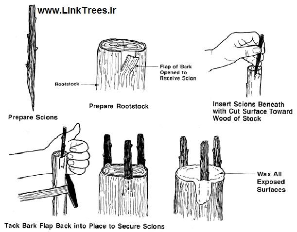 تقسیم بندی پیوند گیاهان بر اساس زمان پیوند زدن | سایت آموزش پیوند درختان | www.LinkTrees.ir