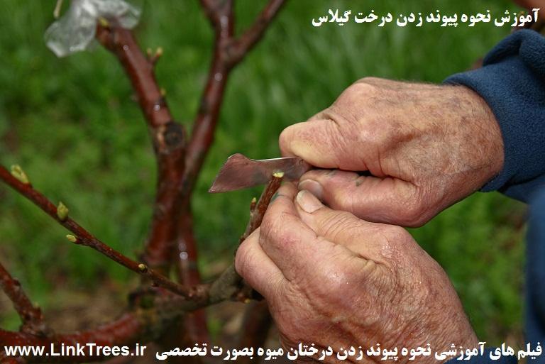 پیوند درخت گیلاس | پیوند درخت آلبالو | فیلم آموزش پیوند زدن درخت گیلاس | فیلم آموزش پیوند زدن درخت آلبالو | سایت آموزش پیوند درختان www.LinkTrees.ir