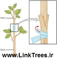 scion-wood-prepared-for-grafting-stock-links-trees-websites-cd-filmes
