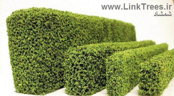 شمشاد Euonymus europaeus | پرورش و نگهداری شمشاد Shamshad Buxus Hedge | سایت آموزش پیوند درختان | www.LinkTrees.ir