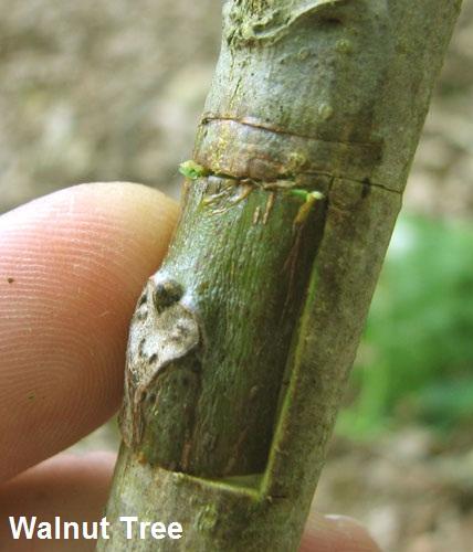 انواع پیوند های گردو |فیلم آموزشی پیوند درخت گردو Link walnut tree | فیلم پیوند زدن درخت گردو | روش پیوند گردو