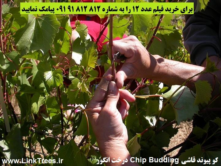 تصاویری از کو پیوند قاشی Chip Budding درخت انگور | فروش فیلم پیوند زدن درخت انگور مو Grafting Grape Vines | سایت آموزش پیوند درختان | www.LinkTrees.ir