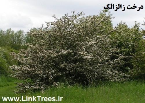 سایت آموزش پیوند درختان | www.LinkTrees.ir | مقالات باغبانی | شناسایی درخت زالزالک | پیوند زدن درخت زالزالک | Crataegus aronia | Crataegus hawthorn