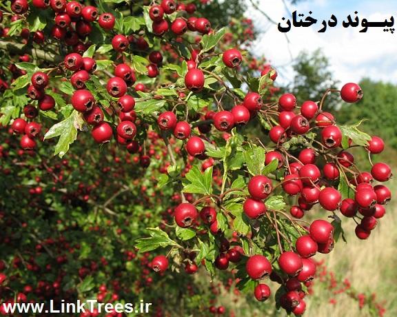 سایت آموزش پیوند درختان | www.LinkTrees.ir | آموزش پیوند زدن درختان میوه | آموزش پیوند زدن درختان میوه دانه دار | پایه زالزالک قابلیت پیوند گلابی و سیب | فیلم پیوند درختان