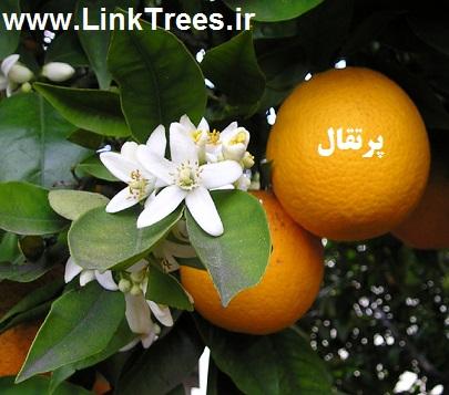 سایت آموزش پیوند درختان | www.LinkTrees.ir |آموزش پیوند زدن درختان میوه نیمه گرمسیری مرکبات | آموزش پیوند پرتقال به نارنج چه فصلی باید انجام بشود | آموزش پیوند پرتقال | آموزش پیوند مرکبات