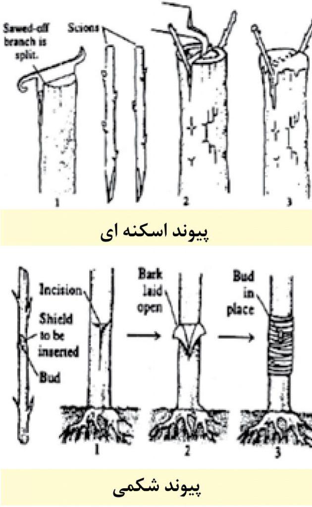 سایت آموزش پیوند درختان www.LinkTrees.ir | آموزش پیوند زدن درختان میوه آجیلی خشک میوه ها | میوه های خشکباری | نگاهی به انواع روشهای پیوند پسته methods pistachios links