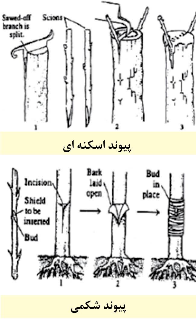 تصویر پیوند شکمی یا پوستی Bark grafting | تصویر پیوند اسکنهای یا شکافی Cleft grafting | سایت آموزش پیوند درختان www.LinkTrees.ir | فیلم آموزش پیوند زدن درختان میوه