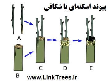 سایت آموزش پیوند درختان www.LinkTrees.ir| آموزش پیوند زدن درختان میوه |روش های پیوند درخت خرمالو | زمان پیوند درخت خرمالو Persimmon tree grafting method | پیوند اسکنهای یا شکافی Cleft grafting