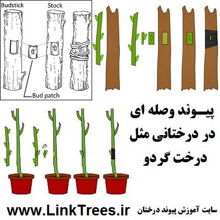 سایت آموزش پیوند درختان www.LinkTrees.ir | آموزش پیوند زدن درختان میوه آجیلی خشک میوه ها | میوه های خشکباری | پیوند وصله ای درخت گردو Patch budding