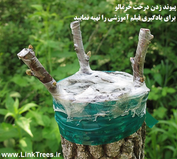 سایت آموزش پیوند درختان www.LinkTrees.ir | آموزش پیوند زدن درختان میوه نیمه گرمسیری خزان دار | روش پیوند زدن درخت خرمالو | فیلم آموزشی پیوند زنی درخت خرمالو Persimmon tree grafting method