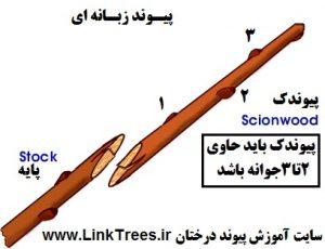 بهترین پیوند چوب قلمه بر روی درختان نهال جوان | سایت آموزش پیوند درختان | www.LinkTrees.ir| آموزش روشهای پیوند زنی | آموزش پیوند زدن درختان | پیوند زبانه ای
