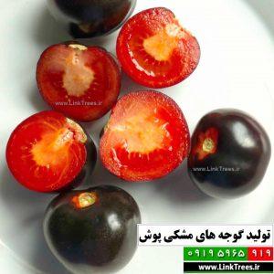 پیوند زدن گوجه فرنگی | سایت آموزش پیوند درختان www.LinkTrees.ir | آموزش پیوند صیفی جات و سبزیجات | تولید گوجه های مشکی پوش
