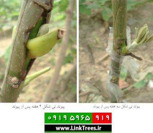 grafting-Trees-bud-link