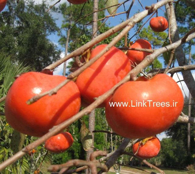 سایت آموزش پیوند درختان ( www.LinkTrees.ir) : آموزش پیوند درختان : آموزش روشهای پیوند زنی - آموزش پیوند زدن درختان : پایه های درخت خرمالو fruit trees