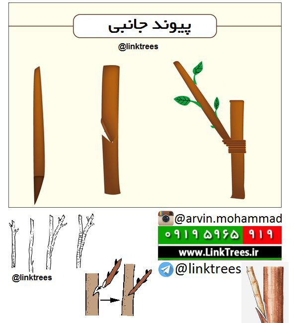 روش انجام پیوند جانبی janebi | پیوند جانبی | how to side graftings | سایت آموزش پیوند درختان | www.LinkTrees.ir
