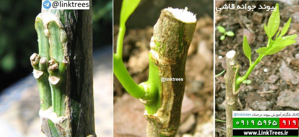 سایت آموزش پیوند درختان | www.LinkTrees.ir | آموزش پیوند درختان | شناخت تجانس (سازگاری ) یا تخالف (ناسازگاری ) میان دو درخت از لحاظ پیوند