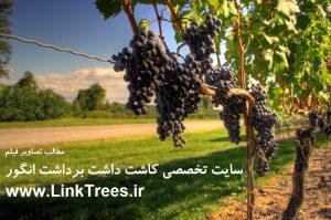 سایت آموزش پیوند درختان ( www.LinkTrees.ir) | سایت تخصصی درخت انگور | کاشت داشت برداشت انگور | Grapes Trees