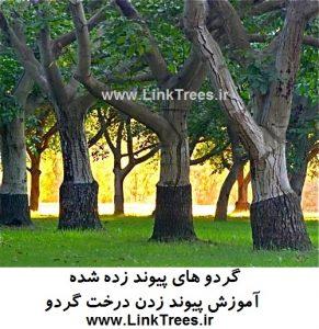 معرفی برخی پایه های گردو | سایت آموزش پیوند درختان www.LinkTrees.ir | سایت تخصصی درخت گردو | پیوند گردو | سایت گردو | تصویر گردوی پیوند زده شده walnut grafted