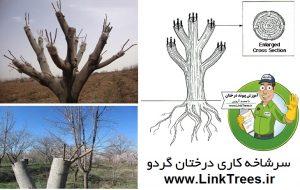 سایت آموزش پیوند درختان www.LinkTrees.ir | سایت تخصصی درخت گردو | انواع پیوند گردو | سرشاخه کاری گردو