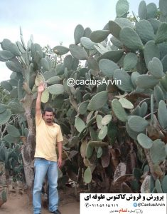 cultivar-forage-production-opuntia-ficus-indica-cactus-arvin-buy